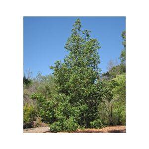 Brachychiton populneus Standard (Sterculia diversifolia)