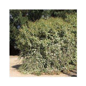 Hedera canariensis 'Variegata' ('Gloire de Marengo')