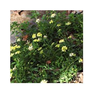 Lantana Spreading Hybrid 'Yellow'