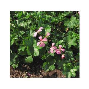 Pelargonium peltatum 'Balcan Pink'