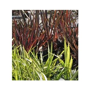 Phormium 'Assorted Varieties'