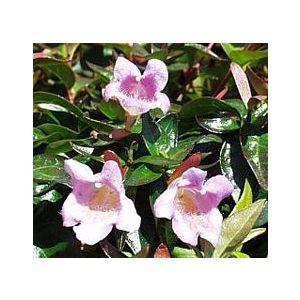 Abelia x grandiflora 'Sherwoodii'