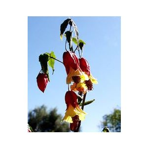 Abutilon megapotamicum 'Little Imp'