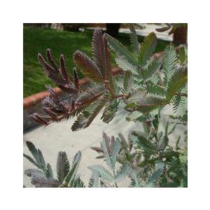 Acacia baileyana 'Purpurea'