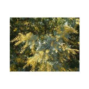 Acacia baileyana
