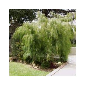 Acacia cognata (A. subprosa)