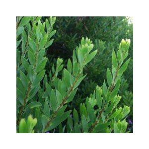 Acacia longifolia (A. latifolia)