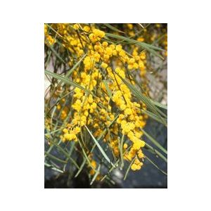 Acacia saligna (A. cyanophylla)
