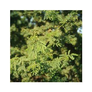 Acacia smallii Multi (A. minuta)