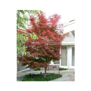 Acer palmatum 'Bloodgood' - Monrovia