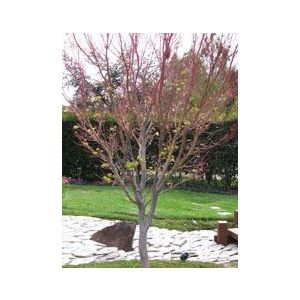 Acer palmatum 'Sango Kaku' - Monrovia ('Senkaki')