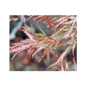 Acer palmatum dissectum 'Ever Red' Staked - Monrovia ('Ornatum')