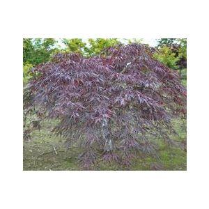 Acer palmatum dissectum 'Inabe Shidare'