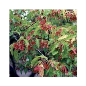 Acer tataricum ginnala (A. g.)