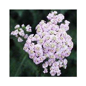 Achillea millefolium 'Lavender Beauty'