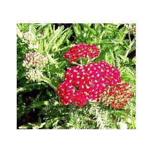 Achillea millefolium 'Paprika'