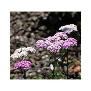Achillea millefolium 'Rosea'