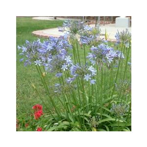 Agapanthus 'Peter Pan' Blue