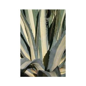 Agave americana var. medio-picta 'Alba'