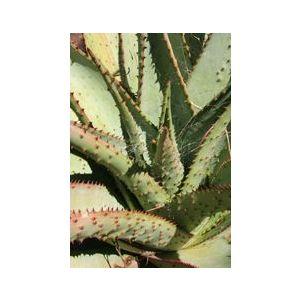 Aloe marlothii (A. spectabilis)