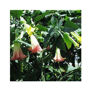 Brugmansia x insignis (Datura x i.)