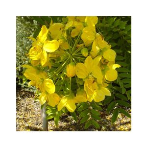 Cassia leptophylla Standard