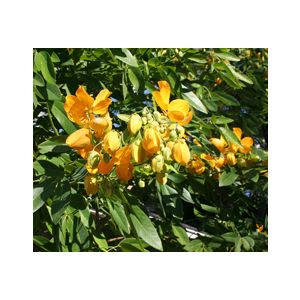 Cassia splendida 'Golden' (Senna s.)