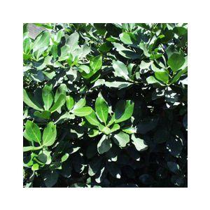Corynocarpus laevigata