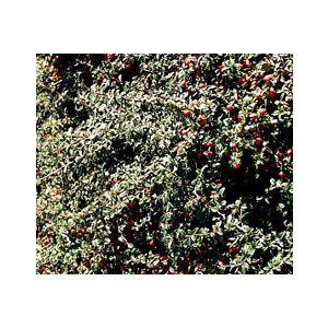 Cotoneaster dammeri 'Lowfast' (C. humifusus)