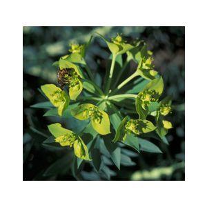 Euphorbia rigida (E. biglandulosa)