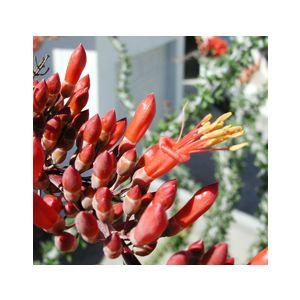 Fouquieria splendens