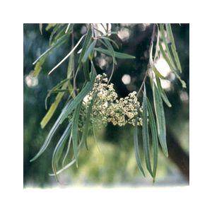 Geijera parviflora Low Branch