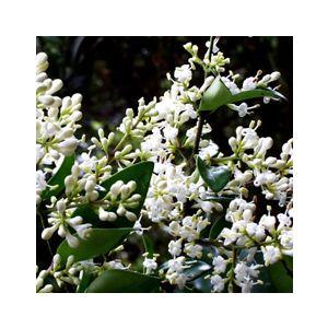Ligustrum japonicum Multi