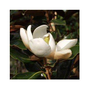Magnolia grandiflora 'Little Gem' Espalier
