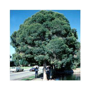 Melaleuca linariifolia Multi