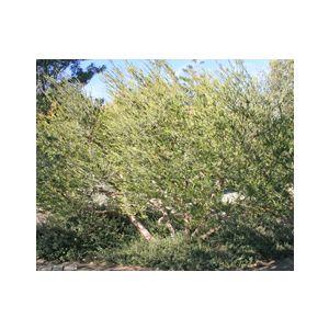 Melaleuca nesophila Multi