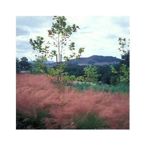 Muhlenbergia capillaris 'Regal Mist' ('Lenca')