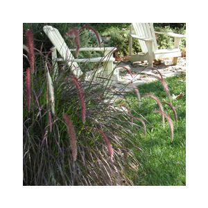 Pennisetum setaceum 'Eaton Canyon' ('Red Riding Hood')