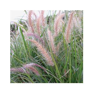 Pennisetum setaceum (P. ruppelii)