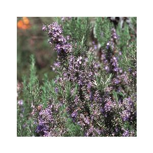 Rosmarinus officinalis 'Tuscan Blue'