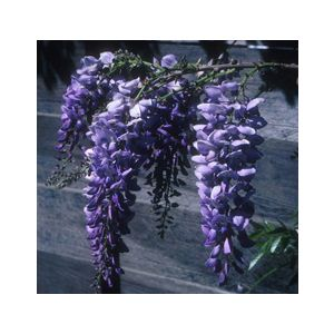 Wisteria sinensis 'Cooke's Purple' Standard (Cooke's Special')