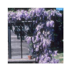 Wisteria sinensis 'Cooke's Purple' (Cooke's Special')