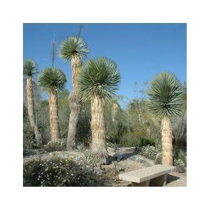 Yucca rostrata (Y. thompsoniana)