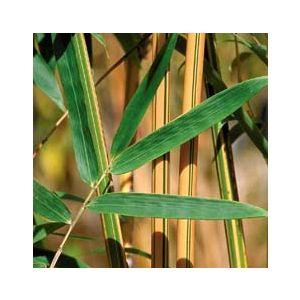 Bambusa multiplex 'Alphonse Karr' (B. glaucescens)