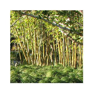 Bambusa oldhamii (Sinocalamus o.)