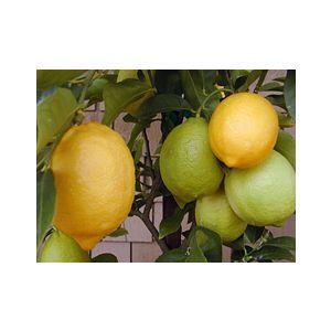 Citrus Lemon 'Eureka' Standard