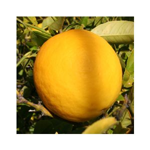 Citrus Lemon 'Meyer' Standard ('Improved Meyer')