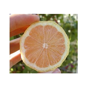 Citrus Lemon 'Pink Lemonade' Standard ('Variegated Pink')