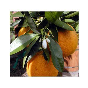 Citrus Orange 'Valencia' Standard