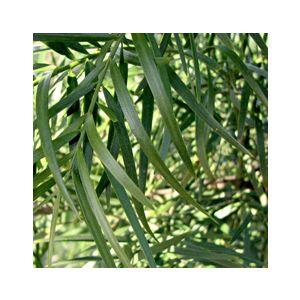 Podocarpus gracilior Espalier (Afrocarpus elongatus) (Nageia falcatus)